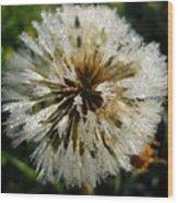 Dew Covered Dandelion Wood Print