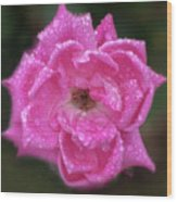 Dew Covered Rose Wood Print