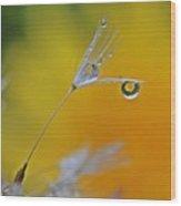 Dew Drop Dandelion Wood Print