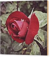Dew Drop Rose Wood Print