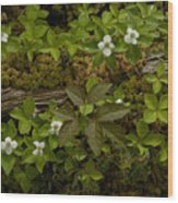 Dew Dropped Spring Bunchberries Wood Print