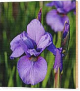 Dew Kissed Iris Wood Print