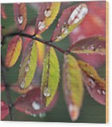 Dew On Wild Rose Leaves In Fall Wood Print