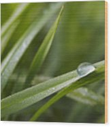 Dewy Drop On The Grass Wood Print