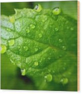 Dewy Mint Wood Print