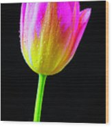 Dewy Pink Yellow Tulip Wood Print