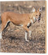 Dhole In The Wild Wood Print