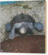 Diamondback Terrapin Wood Print by Lynn Jackson