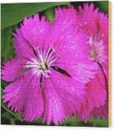 Dianthus First Love Flower Print Wood Print