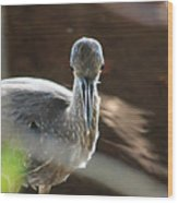 Ding Darling - Juvenile Black-crowned Night Heron Looking At You Wood Print