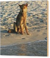 Dingo On The Beach Wood Print