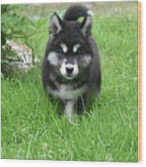 Dinstinctive Black And White Markings On An Alusky Pup Wood Print