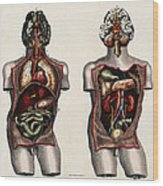 Dissected Torsos And Brains Wood Print