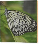 Distinctive Side Profile Of A White Tree Nymph Butterfly Wood Print