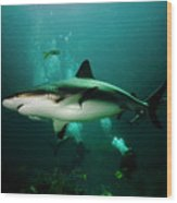 Dive With The Sharks Wood Print