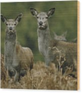 Doe And Young Deer Wood Print