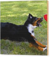 Dog And Red Frisbee Wood Print