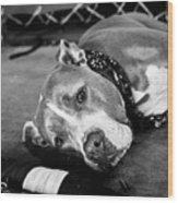 Dog At The Ring Wood Print