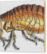 Dog Flea, Illustration Wood Print