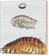Dog Flea, Lifecycle, Illustration Wood Print