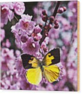 Dogface Butterfly In Plum Tree Wood Print