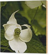 Dogwood Ballet Wood Print
