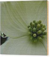 Dogwood Bloom - Closeup Wood Print