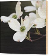 Dogwood Blooms Wood Print