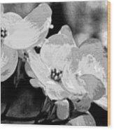 Dogwood Blossoms - Black And White Wood Print