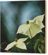 Dogwood Flowers In Streaming Blue Light Wood Print