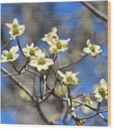 Dogwood In Bloom Wood Print