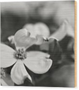 Dogwoods In Black And White Wood Print
