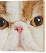 Domestic Persian Cat Against White Background. Wood Print by Martin Harvey