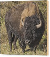 Don't Mess With This Bison Wood Print