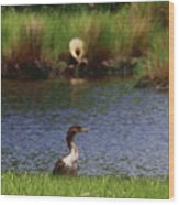 Double-crested Cormorant 2q Wood Print
