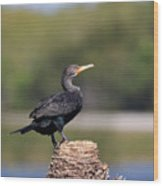 Double Crested Cormorant Wood Print