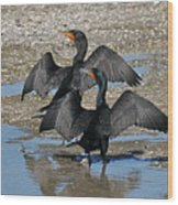 Double Crested Cormorant Pair Wood Print