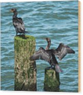 Double-crested Cormorants Wood Print