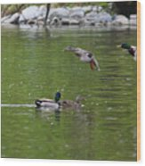Double Duck Landing Wood Print