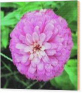 Double Pink Zinnia Wood Print