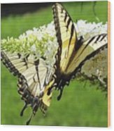 Double The Pleasure - Eastern Tiger Swallowtails Wood Print