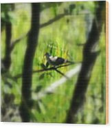 Dove In The Everglades  Wood Print