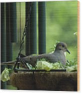 Dove Nesting, Balcony Garden, Hunter Hill, Hagerstown, Maryland, Wood Print