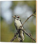 Downy Woodpecker In Fall Wood Print