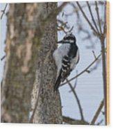 Downy Woodpecker Wood Print