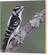 Perching Downy Woodpecker Wood Print