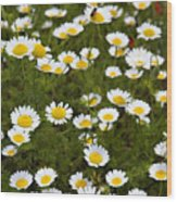 Dozens Of Daisies Wood Print