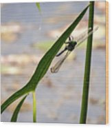 Dragonfly Resting Upside Down Wood Print
