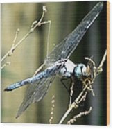 Dragonfly With Yellowjacket 1 Wood Print