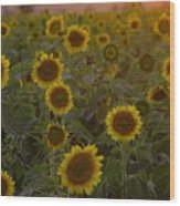 Dreaming In Sunflowers Wood Print